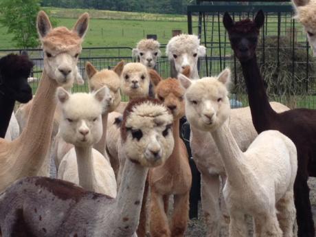 Thoughtful alpacas