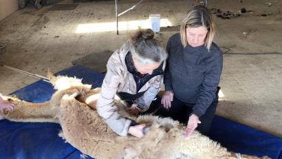 Alpaca Shearing Workshop Photo
